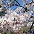 阿里山森林遊樂區-櫻花季20.jpg