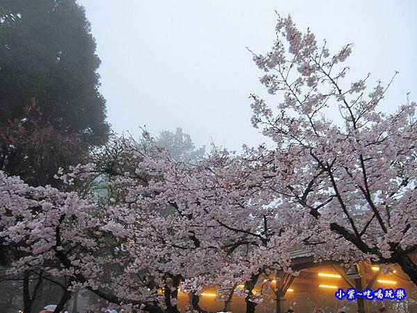 阿里山森林遊樂區-櫻花季23.jpg
