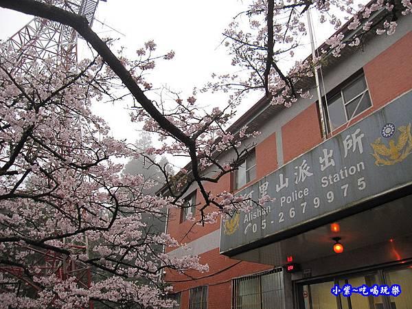 阿里山森林遊樂區-櫻花季25.jpg
