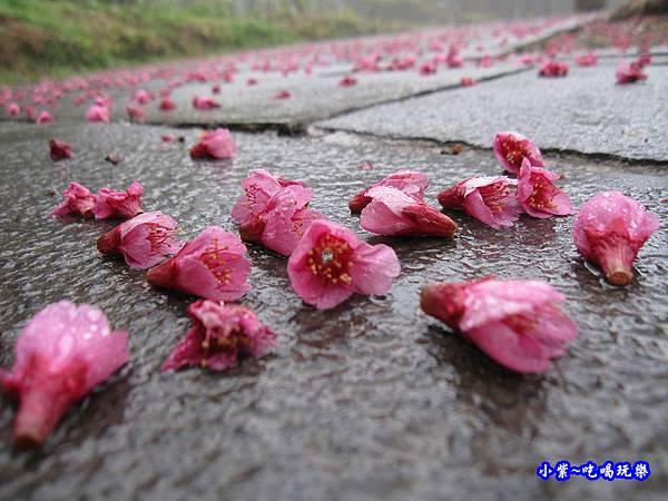 阿里山森林遊樂區-櫻花季26.jpg