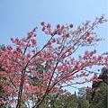 阿里山森林遊樂區-櫻花季27.jpg