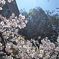 阿里山森林遊樂區-櫻花季28.jpg