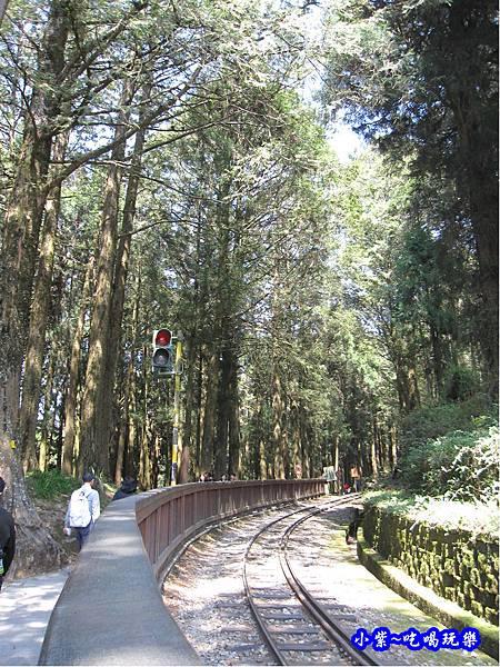 阿里山森林遊樂區-櫻花季29.jpg