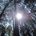 阿里山森林遊樂區-櫻花季30.jpg