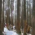 阿里山森林遊樂區-櫻花季32.jpg