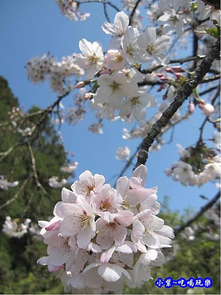 阿里山森林遊樂區-櫻花季36.jpg