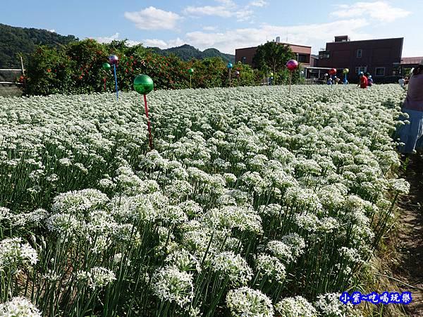 2019-9-13大溪韮菜花田 (6).jpg