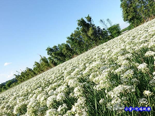 2019-9-13大溪韮菜花田 (18).jpg