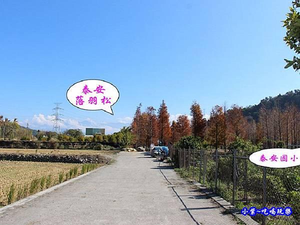 后里泰安落羽松秘境 (3).jpg