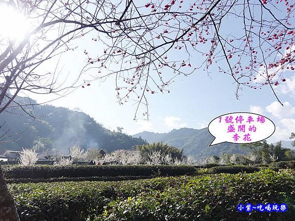 1號停車場-李花園。草坪頭櫻花季  (2).jpg