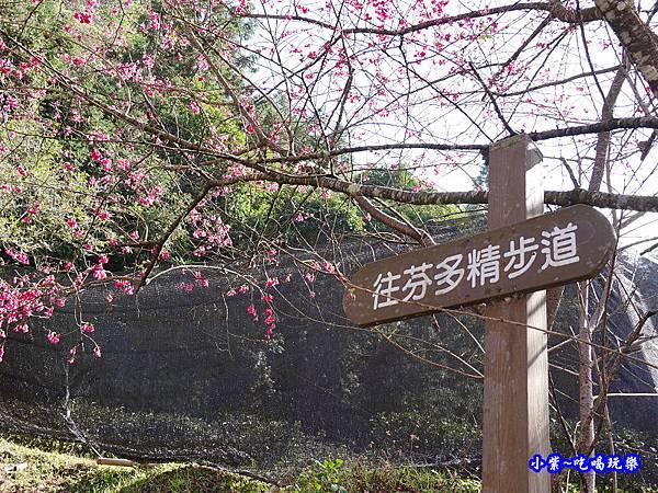 P13停車場旁-往芬多精步道-草坪頭櫻花季 (1).jpg