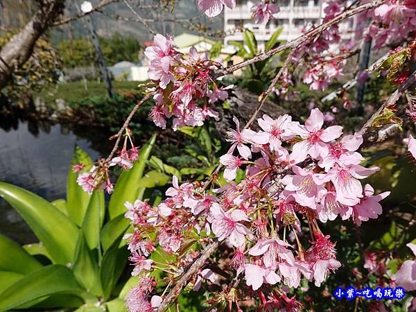 P15龍谷茶葉-柳櫻-草坪頭櫻花季  (2).jpg