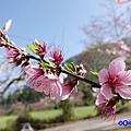 玉峰製茶所附近住宅旁桃花-草坪頭櫻花季 (1).jpg