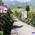 李子王咖啡園-李子老樹-草坪頭櫻花季 (2).jpg