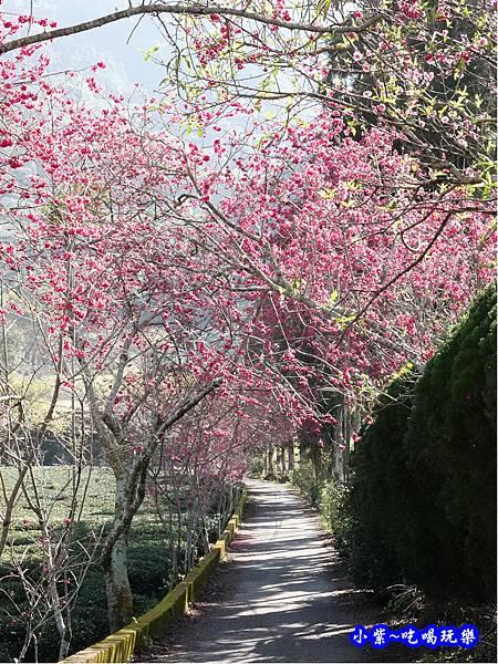 往P7櫻花小徑-草坪頭櫻花季.jpg