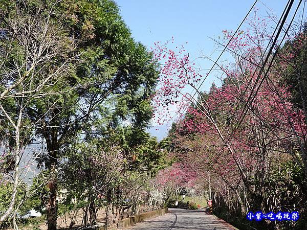 往下走往P13停車場櫻花大道-草坪頭櫻花季.jpg
