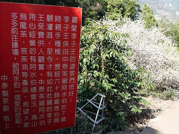 李子王咖啡園-李子老樹-草坪頭櫻花季 (7).JPG