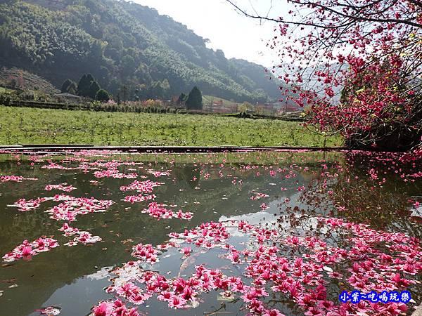 單瓣緋寒櫻、山櫻花-草坪頭櫻花季  (6).jpg