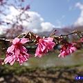 親水公園-草坪頭櫻花季 (1).jpg