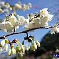 福爾摩沙櫻-草坪頭櫻花季 (2).jpg