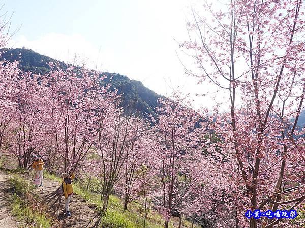 往巨木登山口的櫻花步道-司馬庫斯 (7).jpg