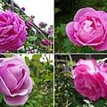 雅聞七里香玫瑰森林紫色玫瑰花.jpg