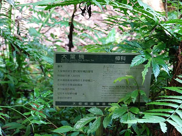 編號16大葉楠-大板根森林步道 (1).JPG