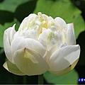 白蓮花-苑裡牡丹蓮池4.jpg