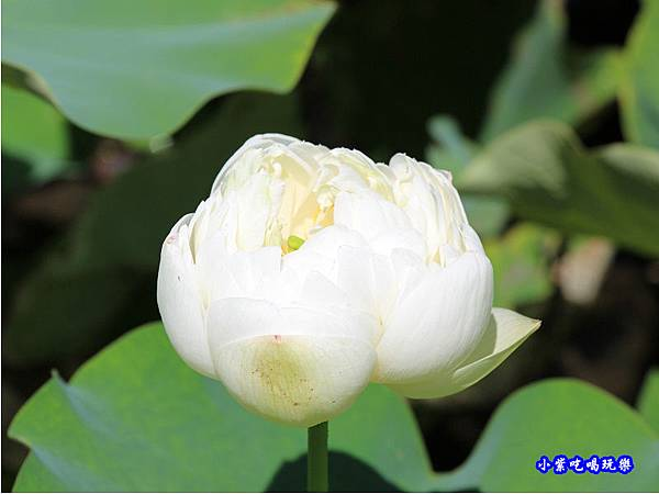 白蓮花-苑裡牡丹蓮池1.jpg