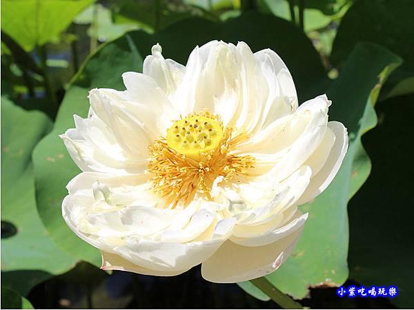 白蓮花-苑裡牡丹蓮池6.jpg