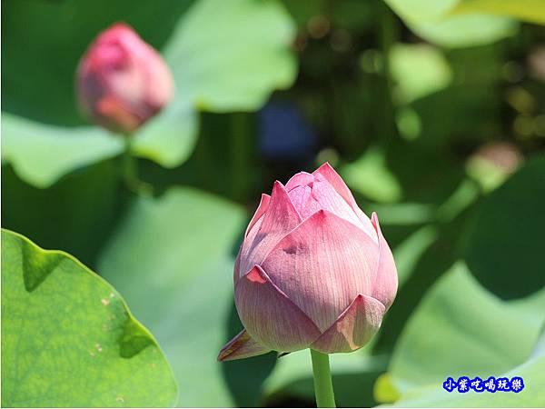 牡丹蓮-苑裡牡丹蓮池1.jpg