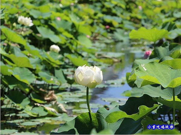 白蓮花-苑裡牡丹蓮池8.jpg