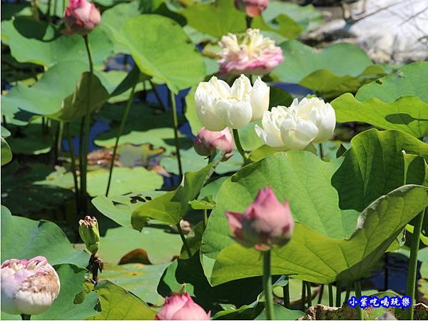 白蓮花-苑裡牡丹蓮池7.jpg