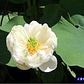 白蓮花-苑裡牡丹蓮池3.jpg