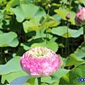 牡丹蓮-苑裡牡丹蓮池3.jpg
