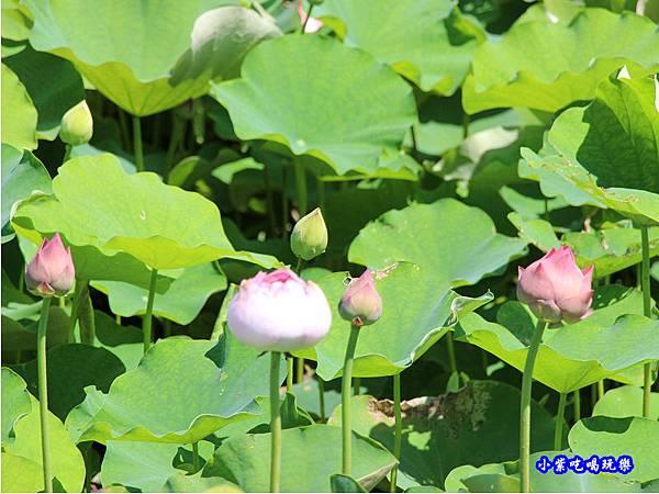 苑裡牡丹蓮池2.jpg