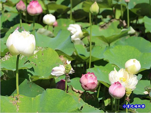 苑裡牡丹蓮池4.jpg