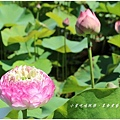 苑裡-牡丹蓮池首圖1.jpg