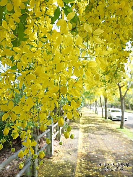 台中-都會園路-盛開阿勃勒28.jpg