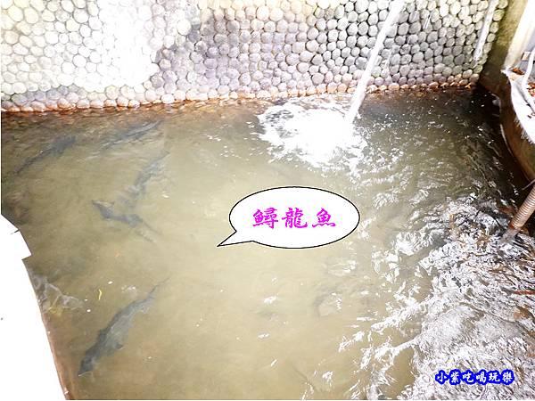 現撈鱘龍魚.jpg