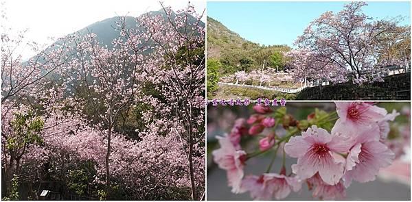 拉拉山旅遊服務中心櫻花季首圖.jpg