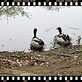 20110403_台南巴克里公園肥鴨