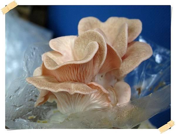 201304_玫瑰菇像樣了_IMG_4568v