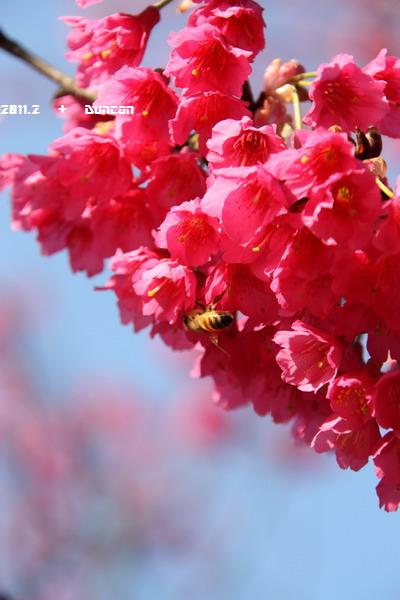 櫻花-6.jpg