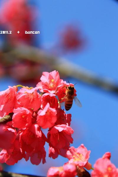 櫻花-1.jpg