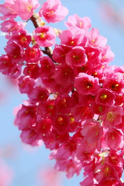 櫻花-11.jpg