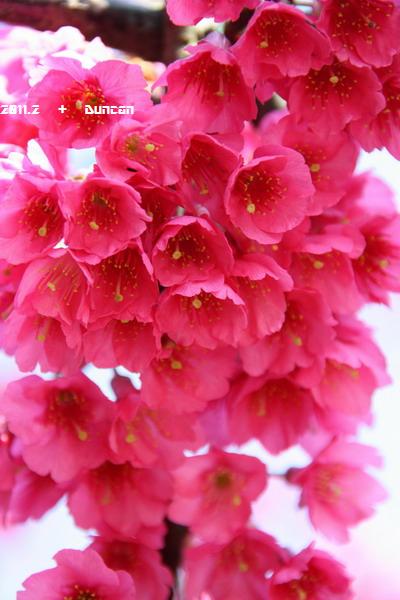 櫻花-9.jpg