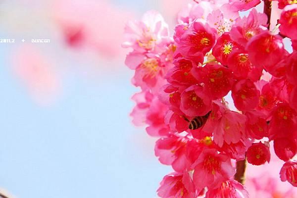 櫻花-10.jpg