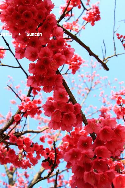 櫻花-4.jpg