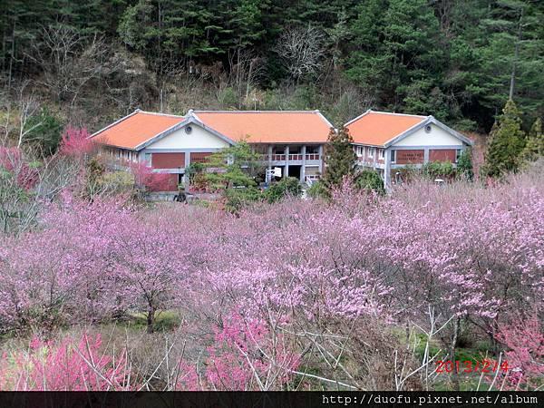 [多扶漫遊]武陵農場賞櫻花 (2)